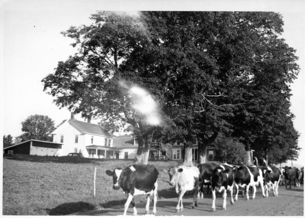 """After milking, we would drive the cows out to pasture on the road."" said Toppy. Here one can see Sherryland in the backround. Photo courtesy of Toppy Sherry."